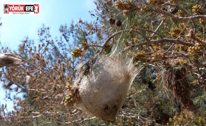 Aydın'daki çam ormanlarını 'çam kese böceği' sardı