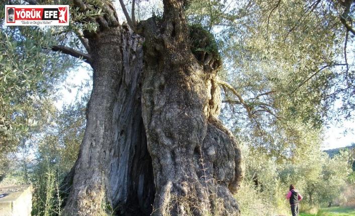 Aydın'da ölmez ağaç konuşuldu
