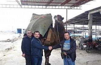Aydın'da ilginç bir 'deve' davası