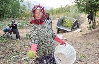 Aydın ve İzmir'de kestane hasadı başladı